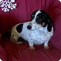 Adopt A Pet :: Lola - Campbell, CA