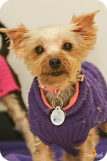 Yorkie, Yorkshire Terrier Mix Dog for adoption in Princeton, Minnesota - Lekssi