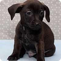 Adopt A Pet :: Nicholas Bradford/pending - Hillside, IL