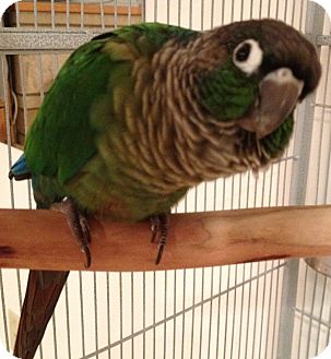 Conure for adoption in Mantua, Ohio - BELLA