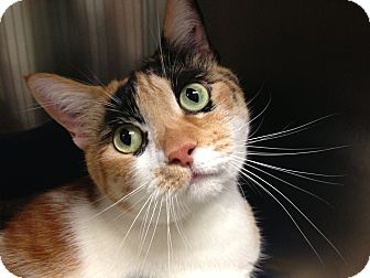 Calico Cat for adoption in Foothill Ranch, California - Baby