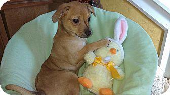 Miniature Pinscher Mix Puppy for adoption in Crestview, Florida - Blossom