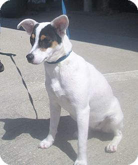 Jack Russell Terrier/Hound (Unknown Type) Mix Puppy for adoption in Darien, Georgia - Miley