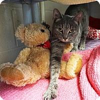 Adopt A Pet :: Sheeba - Mt Vernon, NY