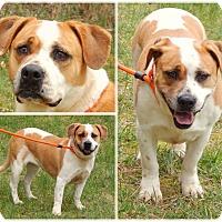 Adopt A Pet :: Cheena - Bardonia, NY
