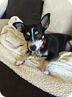 Chihuahua Mix Dog for adoption in Denver, Colorado - Buster (Chi X)