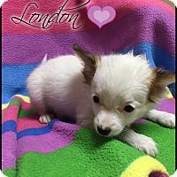 Adopt A Pet :: London (cr) - Allentown, PA