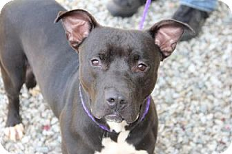 Pit Bull Terrier Mix Dog for adoption in Greensboro, North Carolina - Viggo