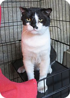 Domestic Shorthair Cat for adoption in Colville, Washington - Walter