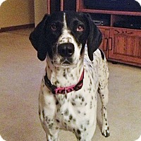 German Shorthaired Pointer Dog for adoption in Chesterfield, Michigan - Annie  COURTESY POST