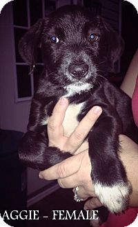 """Labrador Retriever/Pointer Mix Puppy for adoption in Southbury, Connecticut - The """"A"""" Litter"""