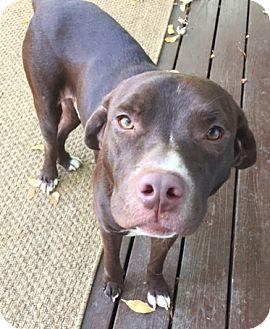 Labrador Retriever Mix Dog for adoption in Fort Collins, Colorado - Chevy