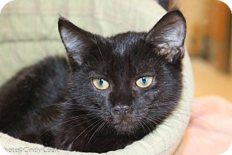 Domestic Shorthair Kitten for adoption in Ann Arbor, Michigan - Cider