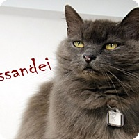 Domestic Longhair Cat for adoption in Hamilton, Montana - Missandei