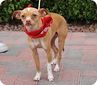 Chihuahua Mix Dog for adoption in Las Vegas, Nevada - LUCKY LEE (CAT FRIENDLY)