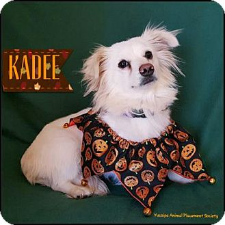 Spaniel (Unknown Type)/Pomeranian Mix Dog for adoption in Yucaipa, California - Kadee