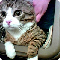 Domestic Mediumhair Cat for adoption in Conroe, Texas - PANTS