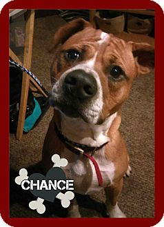Boxer Mix Dog for adoption in Des Moines, Iowa - Chance