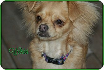Chihuahua/Papillon Mix Dog for adoption in Elburn, Illinois - Webster