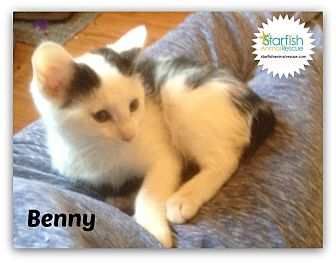 Domestic Shorthair Kitten for adoption in Plainfield, Illinois - Benny
