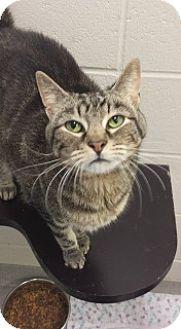 Domestic Shorthair Cat for adoption in Joplin, Missouri - Max 5381