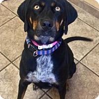 Adopt A Pet :: Honey Dew 109976 - Joplin, MO