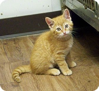 Domestic Shorthair Kitten for adoption in Dover, Ohio - Tot