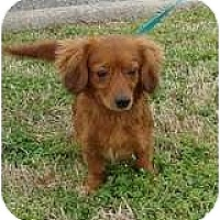 Adopt A Pet :: Rudy Red - Staunton, VA