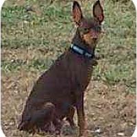 Adopt A Pet :: Cinnamon - Florissant, MO