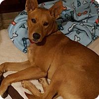 Adopt A Pet :: Lorelai (foster in Glendale CA - Cranston, RI