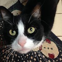 Domestic Shorthair Cat for adoption in Middletown, New York - Rosie