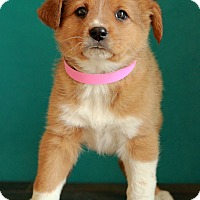 Adopt A Pet :: Clair - Waldorf, MD