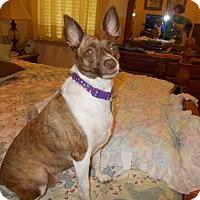 Rat Terrier Dog for adoption in Winston-Salem, North Carolina - Brayda