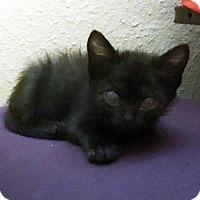 Domestic Shorthair Kitten for adoption in Austin, Texas - Hermy