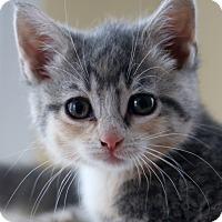 Adopt A Pet :: Daphne - Horsham, PA
