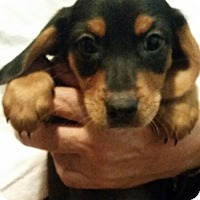 Adopt A Pet :: Detroit - Royal Palm Beach, FL