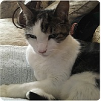 Domestic Shorthair Cat for adoption in Novato, California - Pip
