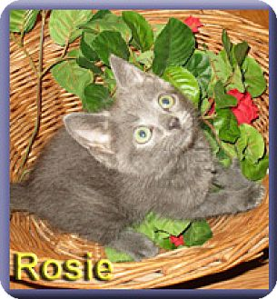 Domestic Shorthair Kitten for adoption in Aldie, Virginia - Rosie