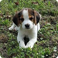 Adopt A Pet :: Peanut - Franklin, VA