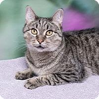 Domestic Shorthair Cat for adoption in Houston, Texas - Donut