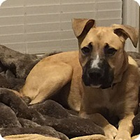 Shepherd (Unknown Type) Mix Puppy for adoption in Charlotte, North Carolina - Hazel
