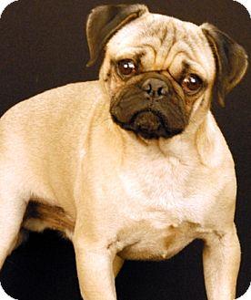 Pug Dog for adoption in Newland, North Carolina - Bo