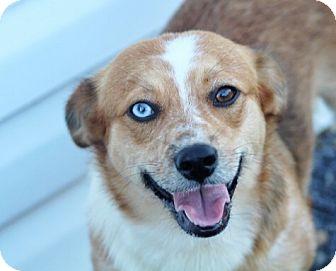 Corgi/Australian Shepherd Mix Dog for adoption in Liberty Center, Ohio - Chandy