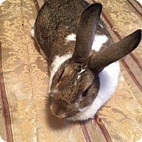 Adopt A Pet :: pumpkin Spice Lullaby - Aurora, IL