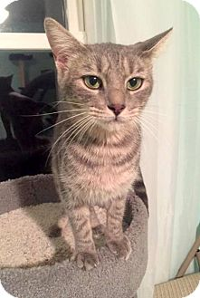 Domestic Shorthair Cat for adoption in Knoxville, Tennessee - Sweet Pea **FREE TO GOOD HOME**