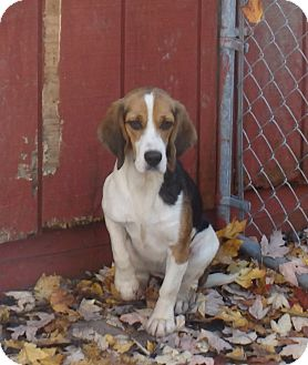 Beagle Dog for adoption in Transfer, Pennsylvania - Emma