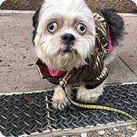 Adopt A Pet :: Sisi - New York, NY