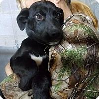 Adopt A Pet :: Baby Ricky - Rockville, MD