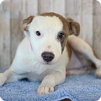 Adopt A Pet :: Anastasia - Waldorf, MD