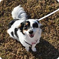 Adopt A Pet :: Lily - Ringoes, NJ